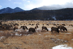 Rocky Mountain National Park, Colorado (ジェローム) Tags: park winter mountain colorado wildlife rocky national co elk estes elks