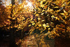 Golden air (y2-hiro) Tags: autumn sunlight colors leaves japan gold maple nikon kyoto d3s