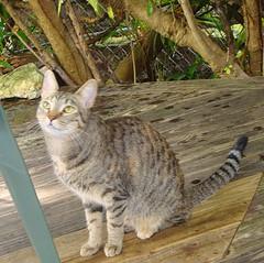 Key West (Florida) November 2010 3177b sq (edgarandron - Busy!) Tags: cats cat tabby kitty coco kitties tabbies blueparrotinn
