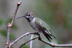 Broad-tailed Hummingbird (gregpage1465) Tags: male bird nature photography photo texas hummingbird greg wildlife picture houston arboretum page immature broadtailedhummingbird selasphorusplatycercus broadtailed gregpage