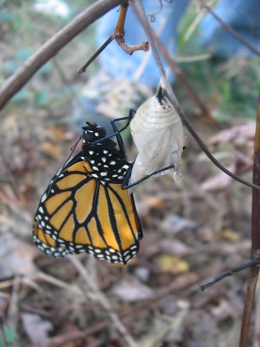monarch butterfly, freshly hatched