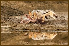 The eternal cycle (hvhe1) Tags: africa food reflection nature bravo jackal feeding wildlife natuur ostrich safari afrika prey predator scavenger gamedrive canismesomelas struisvogel blackbackedjackal jakhals specanimal hvhe1 hennievanheerden zadeljakhals