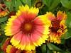 Flors de colors vius d'Anglaterra