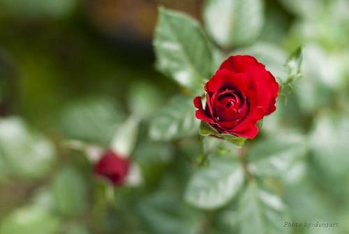Flowers - Hoa hồng