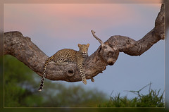 High and mighty (hvhe1) Tags: africa sunset tree nature animal cat zonsondergang branch wildlife natuur safari leopard bigcat afrika resting botswana predator gamedrive gamereserve luipaard mashatu roofdier specanimal hvhe1 hennievanheerden