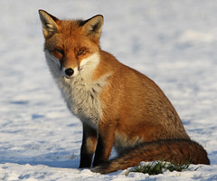 A Christmas Fox (Dan Belton ( No Badger Cull )) Tags: christmas uk red nature animal mammal cub native leicestershire wildlife fox loughborough vulpesvulpes grumpyoldman grumpygit fedupalready breaksupmyroutine iwannabeoutwiththecamerainstead mykittyslovetheturkeythough