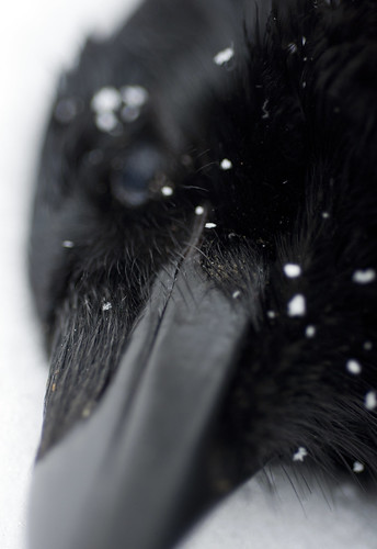 December Crow IV