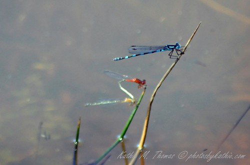 Colourful dragonflies