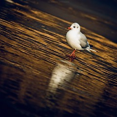 Goldy Sunday (Marc Benslahdine) Tags: winter ice animal gold couleurs or seagull oeil solo lonely bec oiseau mouette pattes glace lightroom etang gel canonef70200mmf4lusm canoneos50d portraitanimalier marcopix marcbenslahdine fortdomainialedebondy marcopixcom