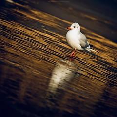 Goldy Sunday (Marc Benslahdine) Tags: winter ice animal gold couleurs or seagull oeil solo lonely bec oiseau mouette pattes glace lightroom etang gelé canonef70200mmf4lusm canoneos50d portraitanimalier marcopix ©marcbenslahdine forêtdomainialedebondy marcopixcom