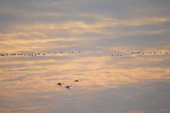 Sandhills Cranes & Geses near Lodi-California (Jaroslaw1980) Tags: geese woodbridge sandhillcrane lodi migratorybirds cranefestival