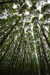 Eucaliptos (Johnny Photofucker) Tags: trees grande angle wide wideangle angular rvores eucalipto eucaliptos grandeangular