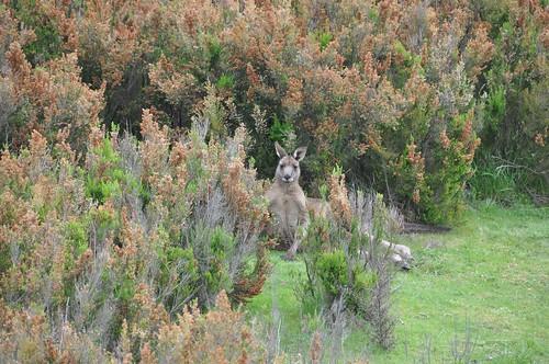Kangaroo by Chris_Samuel, on Flickr
