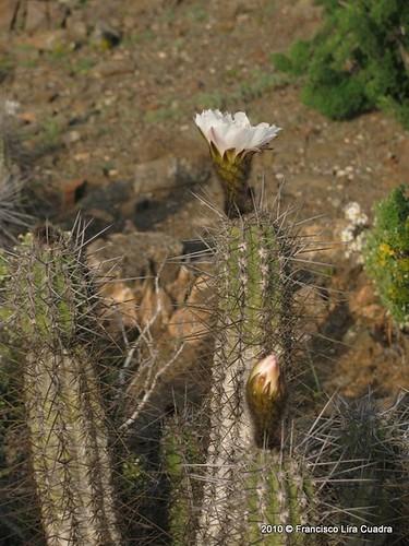 H�bito de Echinopsis deserticola