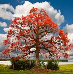 Brachychiton acerifolius-Illawarra Flame Tree (duckforcover) Tags: flowers light red sky colour tree green water grass clouds australia environment malvaceae climatechange flametree globalwarming cs4 sterculiaceae northernnewsouthwales clarenceriver brachychitonacerifolius illawarraflametree d4c arfp duckforcover australianrainforestplants woodfordisland nswrfp qrfp arfflowers redarfflowers tropicalarf lowlandarf uplandarf subtropicalarf