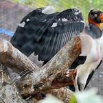 20101224 BZE Zoo King Vulture_1151.jpg thumbnail