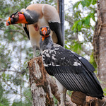 20101229_BZE Zoo_King Vulture_2527.jpg thumbnail