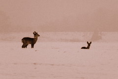 deer in the fog (Harlory) Tags: