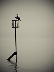 Cormorant (Rafe Abrook Photography) Tags: sea bw bird bay blackwhite olympus calm shore isleofwight cormorant e3 groyne zuiko minimalist shanklin seabird iow 50200 bestofblinkwinners