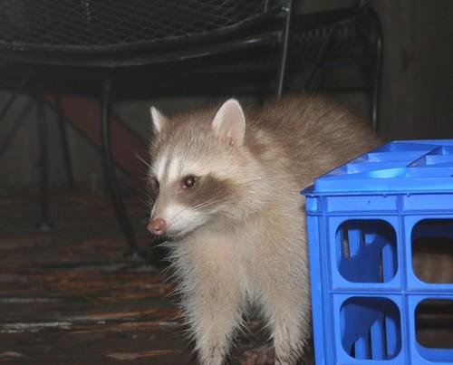raccoon white3 ann sevier wc