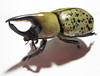Giant Beetle 1 (Barb ☮) Tags: bug insect scary beetle spotted pinchers
