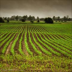 creciendo (Carlos D. Ramirez) Tags: ontario canada field landscape nikon nikkor hdr markham d300 1685mm carlosdramirez cdr35