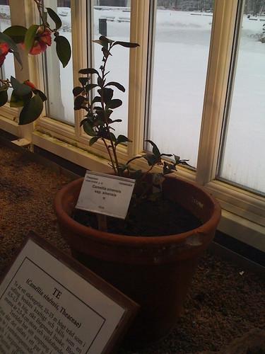 Theaceae