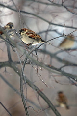 Sparrows (laszlo-photo) Tags: winter ohio birds cleveland january sparrow housesparrow passerdomesticus