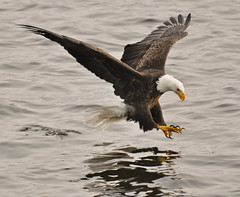 Eagles 9 (Jan Crites) Tags: nikon zoom january iowa mississippiriver 70300mm eagles pleasantvalley baldeagles 2011 d90 lockanddam14 amazingwildlifephotography