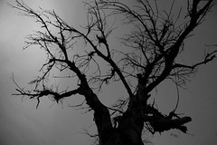 ramas (Imagen Fine Photography) Tags: blackandwhite bw tree blancoynegro arbol bn silueta infrarojo cruzadas ramonsanchez imagenfinephotography