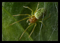 Little Green Spider (Moneycue) Tags: brown white black macro green nature closeup spider leaf eyes little web naturesfinest canon7d moneycue