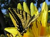 Macro photo of yellow swallowtail butterfly in yellow lilies, carrying smiles and support across space and time to soul-family. This is ours.