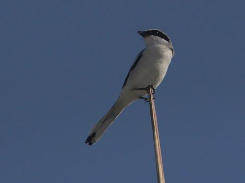 Loggerhead Shrike 20110120