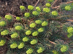 EUPHORBIA characias ssp. wulfenii 'Purple and Gold'