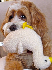 Harvey The Cockapoo and a Christmas Present (Angie Naron) Tags: canine mansbestfriend cockapoo spoodle dogandduck womansbestfriend mixedbreeddog harveythecockapoo photobyangienaron dogandducktoy christmaspresentforthedog
