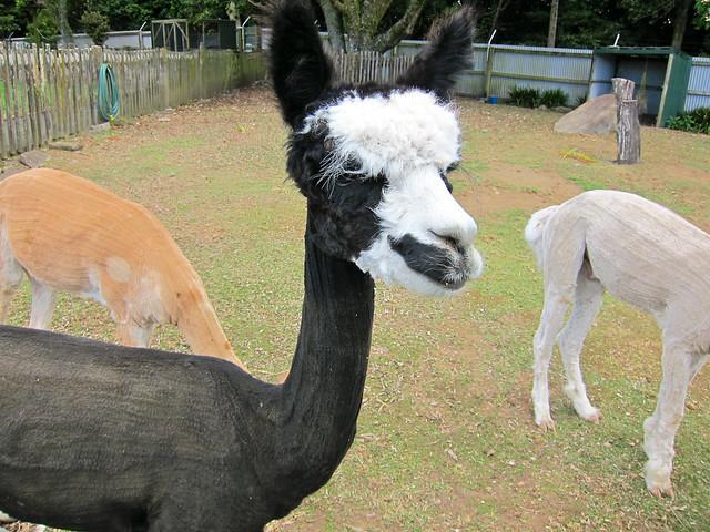 Shaved Lamas