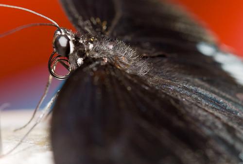 Noir sur Rouge @ Papillon en Fete