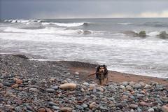 Louva at the Atlantic Ocean (kewzoo) Tags: ocean sea beach novascotia pebble stick aussie fetch retrieve louva