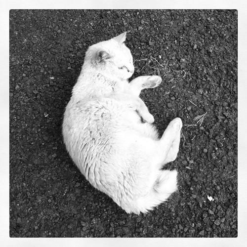 職場に遊びに来るノラ猫のシロ