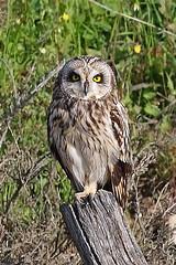 Buho campestre - Short-eared owl - Asio flammeus (_kamon_) Tags: bird nature ave birdwatching shortearedowl asioflammeus canonef40056l lechuzacampestre
