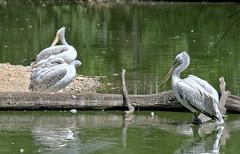 Placides au bord de l'eau (Chemose) Tags: oiseau bird plican tang pond pelican eau water parcdesoiseaux park ain villarslesdombes dombe france canon eos 7d hdr juillet july summer