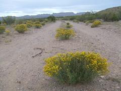 Lane 9/28/2016 (THE RANGE PRODUCTIONS) Tags: desert plant mts range road lane newmexico sierracountynm southwestus