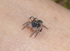 Beholding (tessab101) Tags: spider maratus volans peacock jumping salticid salticidae lower blue mountains sassafras gully lawsons lookout nsw australia arachtober