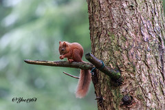 Aberfoyle (yve1964) Tags: aberfoyle redsquirrel squirrel scotland nature wildlife wildlifetrust britishwildlife