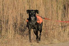 Devil Dog-47779.jpg (Mully410 * Images) Tags: burnettcounty crexmeadowsstatewildlifearea pet huskie crexmeadows dog lab leash blacklab wisconsin eyes