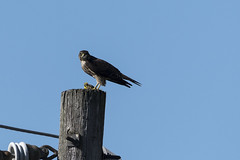 (The Transit Photographer) Tags: birds raptors falcons merlins breakfast female