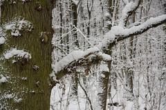 ckuchem-1623 (christine_kuchem) Tags: baumrinde buche bume eiche eis frost hainbuche natur pfad pflanzen ruhe samen spuren stille struktur wald weg wildpflanzen winter einsam kalt schnee ste
