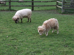 Tilgate Park - Sheep
