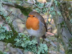 ROBINREDBREAST (SEMMA3 (loves nature)) Tags: west bird nature beauty photography gold golden coast flickr group award best cumbria blink westcoast soe winners watcher bestshots longlands specanimal of anawesomeshot flickraward shotsphoto naturescarousel awardscumbria naturewildlifebirdsflicka natuerewildlifebirdsflcka gardennatures bestofblinkwinners blinkagainsuperstars blinksuperstar blinksuperstars
