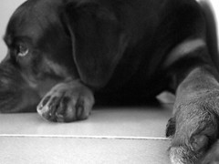 It was one of those days ...... (MudMapImages) Tags: rottweiler bonnie thelittledoglaughed